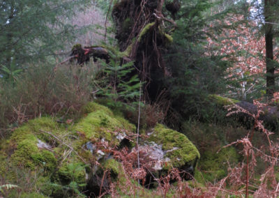 Wood-witch, Gwydyr forest, North Wales