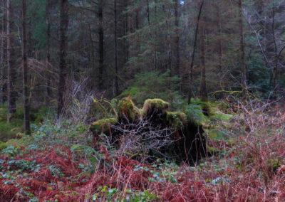 Shaggy monsters, Gwydyr forest, North Wales