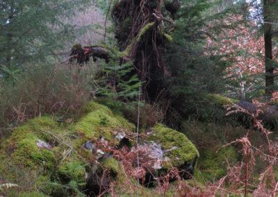 Wood-witch, Gwydyr forest, North Wales